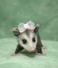 adorable baby opossum has a bow on her head