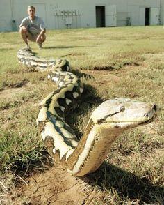 Awesome reticulated python specimen