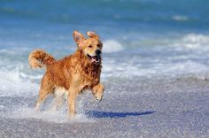 Golden Retrievers love the water!... For more pinable pictures of #dogs click on this image