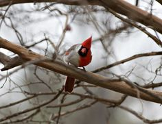 """Extremely rare two-toned Cardinal!   """"A genetic mistake occurred during the first cell division of the fertilized ovum, causing one of the cells produced by this division to be male and the other to be female. As this egg developed, the entire right side remained female and the left side remained male,"""""""