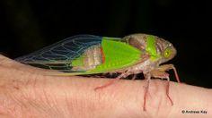https://flic.kr/p/Txpd4d   Freshly emerged Cicada, Hemisciera maculipennis   ID by David Emery from Ecuador: www.flickr.com/andreaskay/albums