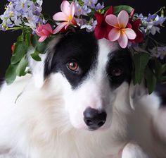 Border Collie Flower Girl