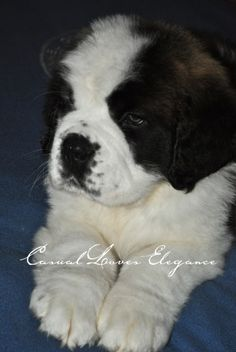Casual Loves Elegance  Can a puppy mend a heart? NO... but it can begin to melt it, if you wish it to! xo