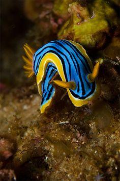 sea slug, Chromodoris elisabethina #Nudibranch