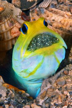 Yellowhead Jawfish - Opistognathus aurifrons - with eggs - By ©/cc Kevin Bryant - the Yellow-headed jawfish, is a species of jawfish native to coral reefs in the Caribbean Sea. Under The Water, Life Under The Sea, Underwater Creatures, Underwater Life, Fauna Marina, Beautiful Sea Creatures, Salt Water Fish, Water Animals, Marine Fish