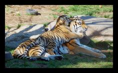 Tigers - Mommy And Cub | Flickr - Photo Sharing!