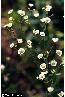 Erigeron strigosus Muhl. ex Willd. Prairie fleabane