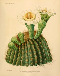 Cactus with flower Vintage cactus art print