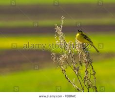 Stock Photo - Yellow wagtail (Motacilla flava) sitting on a branch Yellow Wagtail, Photos For Sale, Stock Photos, Illustration, Plants, Image, Illustrations, Plant