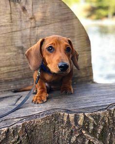 Awww What a Sweetie, dachshund #dachshund