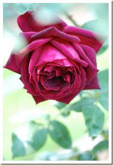 ~Hybrid Tea Rose: Rosa 'Oklahoma' (U.S., before 1963)