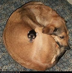 tiny, tiny puppy nestled in its mama's body sleepin. i want to be there.