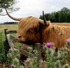 Highland cattle, gotta love them!