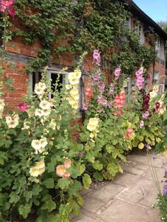 Glorious Hollyhocks in front of the Cottage