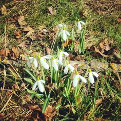 Spring is fighting it's way through! Just love snowdrops
