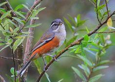 Foto tico-tico-da-taquara (Poospiza cabanisi) por Lindolfo Souto | Wiki Aves - A Enciclopédia das Aves do Brasil