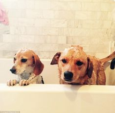 - Photo - Meghan Markle has made arrangements for her two dogs Guy and Bogart as she makes the big move to London to live with her boyfriend Prince Harry Prince Charles, Meghan Markle Toronto, Meghan Markle Instagram, Meghan Markle Shows, Beagle Names, Windsor, The Tig, Markle Prince Harry, Guy