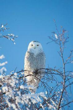 Snow owl (Lapuan Sanomat)