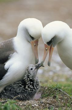 Laysan Albatross Parents.