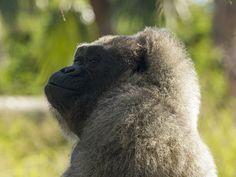 Western Lowland Gorilla (Gorilla gorilla gorilla) Gladys Porter Zoo, Brownsville TX