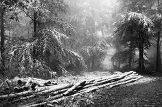 Trunks in snow | Flickr - Photo Sharing!