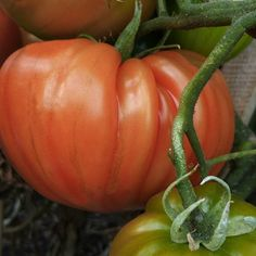 TOMATO OXHEART :: HEIRLOOM :: 30 seeds via Green Seed Tasmania. Click on the image to see more!