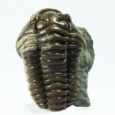 Fossil Trilobite Flexicalymene retrosa. by EarthStonesAustralia, $85.00