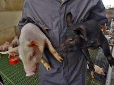 Francia suspendió la prohibición de importación de cerdos