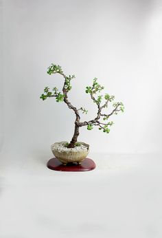 super easy to grow jade bonsai without wiring mammal bonsai rh pinterest com Dwarf Jade Bonsai Jaden Smith