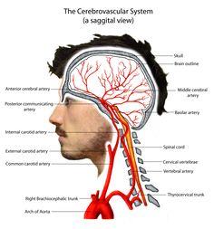 The Cerebrovascular System