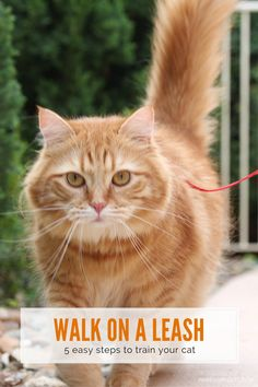 Leash training is the perfect way for your cat to explore the outside world in safety | Train Your Cat to Walk on a Leash in Five Easy Steps