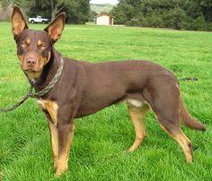 ¿Conoces las razas de perros provenientes de Australia?