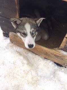 Husky puppy ❤️ Ruka, Finland