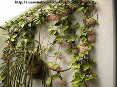 Shop for plants on Etsy, the place to express your creativity through the buying and selling of handmade and vintage goods. Hoya Plants, Balcony Flowers, Spider Plants, S Pic, Dream Garden, Indoor Garden, Grapevine Wreath, Grape Vines, Floral Wreath
