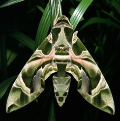 Daphnis Hübner (Oleander hawkmoth) Double Click on this Pin for information on Health, Wellness and Weightloss products.