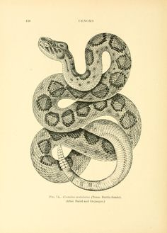 Venoms venomous animals and antivenomous serum-therapeutics; Snake Drawing, Snake Art, Rattlesnake Tattoo, Texas Rattlesnake, Science Illustration, Snake Design, Venom, Sketches, Inspiration