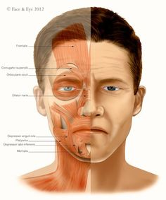 Male Facial Muscle of Expression