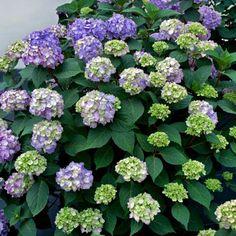 """Hydrangea macrophylla Endless Summer """"Bloom Star""""® - гортензия крупнолистная Endless Summer """"Bloom Star""""® НОВИНКА 2014 г."""