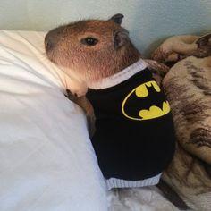 JoeJoe the capybara, the hero that Gotham needs