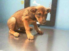 02/12/14 Petfinder  Adoptable   Dog   Labrador Retriever   Houston, TX   A1190229
