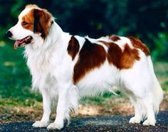 The Kooikerhondje is a small spaniel-type breed of dog of Dutch ancestry that was originally used as a working dog, particularly in an eendenkooi or duck trap to lure ducks. Kooikers were popular in the 17th and 18th century and appeared in the paintings of Rembrandt and Jan Steen. The breed is rapidly gaining popularity in the United States, Canada and Scandinavia, where it is still relatively unknown.