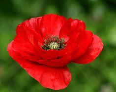 red poppy flower - Google Search