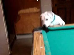 This Pool Playing Dog Will Clean You Out At The Billiards.