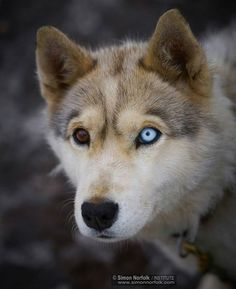 🌎Follow @discover_paradise_earth (me) for more! The eye is the mirror to the soul ❤ Tag your friends 😁 📷Pic by©:Simon Norfolk @simonnorfolkstudio #beautiful #eyes #cute #huskey #lovely