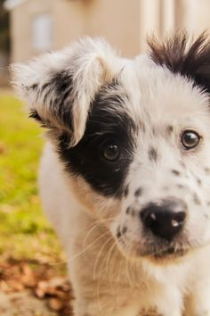 Looks like a border collie and Dalmatian! Mutt Puppies, Mutt Dog, Baby Puppies, Pet Dogs, Dog Cat, Doggies, Funny Animals, Cute Animals, Collie Dog