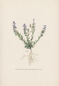 jaren 1950 botanische Print, bittere vleugeltjesbloem Polygala amara, Flora illustratie, plantkunde Print, Vintage lithografie, Wildflower Print, Kreuzblume