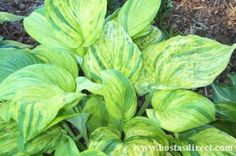 Hosta 'Gunther's Prize'   Hostas Direct  (Get this one if you can find it! beautiful)