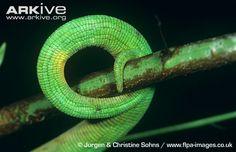 Female-Parsons-chameleons-prehensile-tail-curled-around-branch.jpg (650×420)