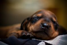 baby doxie ♥