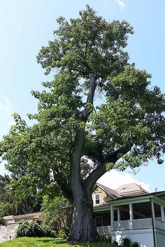 A wide spectrum of trees fits the bill for fast-growing, shade-providing staples in the yard. Read this guide to find the perfect trees for your yard. Best Shade Trees, Fast Growing Shade Trees, Arbor Day Foundation, African Tree, Backyard Trees, Shady Tree, Arbour Day, Home Garden Design, Down South